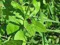 Перетинчастокрила комаха.jpg