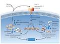 Продукты daf-генов и долголетие - C. elegans.png