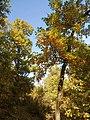 Скален дъб – дървета.jpg