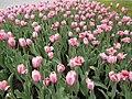 Тюльпаны (Рязань).jpg