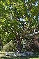 Унікальне дерево-екзот, Срібнянський район, с. Сокиринці.jpg