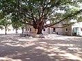 குட்லெட் மேல்நிலைப் பள்ளியில் அமைந்துள்ள ஆலமரம்.jpeg