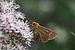 キバネセセリ (Bibasis aquilina) (15215660420).jpg