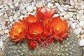 仙人掌-滿月 Mammillaria candida v rosea -香港花展 Hong Kong Flower Show- (9207602348).jpg