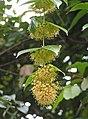 兒茶鈎藤 Uncaria gambir -檳城植物園 Penang Botanic Garden- (9268500012).jpg