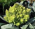 塔型椰菜花 Brassica oleracea v botrytis 'Veronica' -香港漁農美食嘉年華 Hong Kong Farmfest- (9222670012).jpg