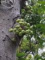 大果榕生長在樹幹上的隱花果 20190629190836.jpg