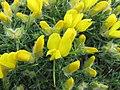 染料木屬 Genista horrida -維也納高山植物園 Belvedere Alpine Garden, Vienna- (29156348442).jpg