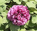 牡丹-大展雄圖 Paeonia suffruticosa 'Grand Plans' -菏澤百花園 Heze, China- (12428274264).jpg