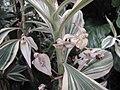 紫露草屬 Tradescantia zanonia -英格蘭 Wisley Gardens, England- (9229786794).jpg