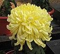 菊花-天閣鳳羽 Chrysanthemum morifolium 'Heavenly Chamber Phoenix Feather' -中山小欖菊花會 Xiaolan Chrysanthemum Show, China- (11961470263).jpg