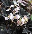 蛤蟆秋海棠-雄花 Begonia rex Dark Mambo -香港公園 Hong Kong Park- (9240259130).jpg