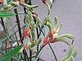 袋鼠爪花 Anigozanthos flavidus -阿姆斯特丹植物園 Hortus Botanicus, Amsterdam- (9204844805).jpg