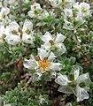 銀白指甲草 Paronychia argentea -比利時 Ghent University Botanical Garden- (9237475513).jpg