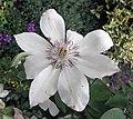 鐵線蓮 Clematis 'Matka Urszula Ledóchowska' -上海國際花展 Shanghai International Flower Show- (17163003648).jpg