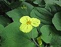 馬蹄香 Saruma henryi -比利時 Leuven Botanical Garden, Belgium- (9213354213).jpg