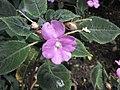 鳳仙花屬 Impatiens substipulata -倫敦植物園 Kew Gardens, London- (9198101553).jpg