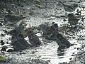 -2018-11-10 Sparrows bathing in a Pot-hole puddle, Trimingham (3).JPG