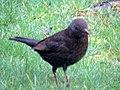 -2019-12-08 Female blackbird (Turdus merula), Trimingham (2).JPG