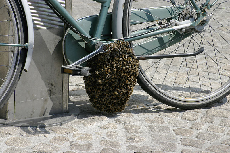 Fichier:- Bee swarm on a bicycle (1-5) -.jpg