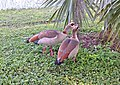 021.5 - EGYPTIAN GOOSE (1-31-2016) broward co, fl -02 (24821771762).jpg