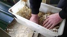 Arquivo: 100 ratos de água lançados no Vale de Glamorgan, Cymru (País de Gales) .webm
