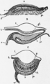 1911 Britannica-Arachnida-Heider.png