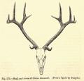 2. antlers duvaceli.png