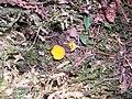 2008-08-04 Sowerbyella rhenana (Fuckel) J. Moravec 92662.jpg
