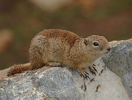 2009-Beldings-Ground-Squirrel.jpg