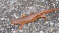 2011-01-28 Tualatin River Wildlife Refuge Salamander.jpg