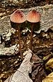 2011-06-15 Mycena sanguinolenta (Alb. & Schwein.) P. Kumm 151560b.jpg