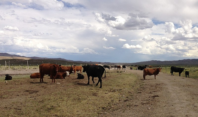 File:2013-06-28 15 48 26 Cattle along Deeth-Charleston Road (Elko County Route 747) at the Bruneau River, about 38.6 miles north of Deeth in Elko County, Nevada.jpg