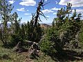 2013-07-12 16 46 02 Whitebark Pine and Subalpine Fir just south of the summit of Copper Mountain, Nevada.jpg