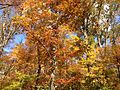 2014-10-30 13 16 17 Trees during autumn in the woodlands along the West Branch Shabakunk Creek in Ewing, New Jersey.JPG