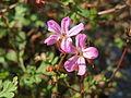 20140916Geranium robertianum1.jpg