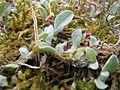 20150613Helichrysum arenarium3.jpg