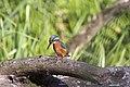 20150920 053 Kessel Weerdbeemden IJsvogel (21541518446).jpg