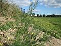 20150927Asparagus officinalis3.jpg