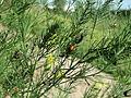 20150927Asparagus officinalis4.jpg