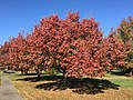 2016-11-18 12 20 19 Callery Pear displaying autumn foliage along Franklin Farm Road between Tranquility Lane and Old Dairy Road in the Franklin Farm section of Oak Hill, Fairfax County, Virginia.jpg