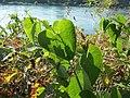 20160907Aristolochia clematitis2.jpg