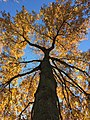 2017-11-23 13 59 29 View up into the canopy of a Pin Oak in late autumn along Franklin Farm Road in the Franklin Farm section of Oak Hill, Fairfax County, Virginia.jpg