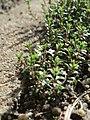 20170312Arenaria serpyllifolia1.jpg