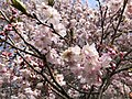 2019-04-06 12 05 52 Autumn Cherry blossoms along Lees Corner Road in the Franklin Farm section of Oak Hill, Fairfax County, Virginia.jpg