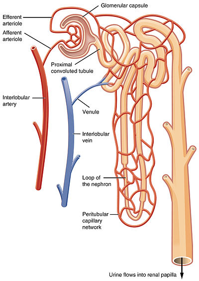 2611 Blood Flow in the Nephron.jpg