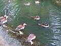 2 Mixt flock W44.jpg
