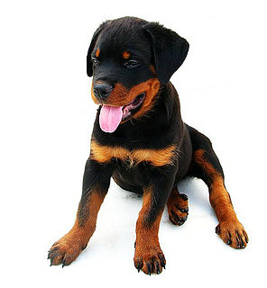 Perro raza rottweiler wikipedia