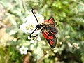 3987 - Zermatt - Zygaenidae.JPG