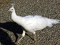 6676 - Pavone bianco all'Isola Bella (Lago Maggiore) - Foto Giovanni Dall'Orto, 7-Apr-2003.jpg